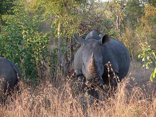 Rhino-0001