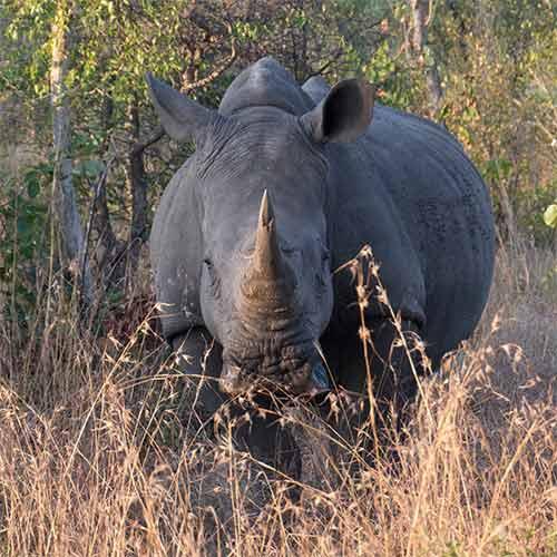 Rhino-Square01