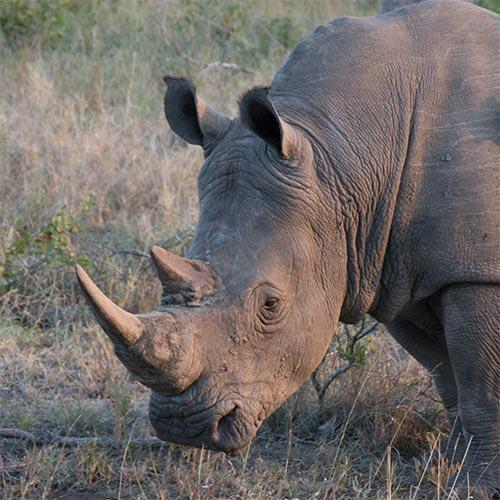 Rhino-Square02